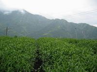 Tea Farm-r